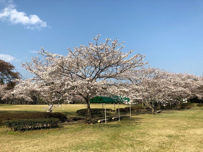 30法華嶽公園桜3.jpg